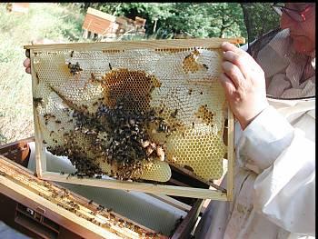 elevage d 39 essaims d 39 abeilles pr sence de cellules royales sur les cadres. Black Bedroom Furniture Sets. Home Design Ideas