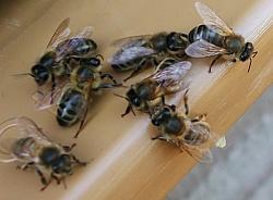 l 39 abeille noire une abeille rustique. Black Bedroom Furniture Sets. Home Design Ideas